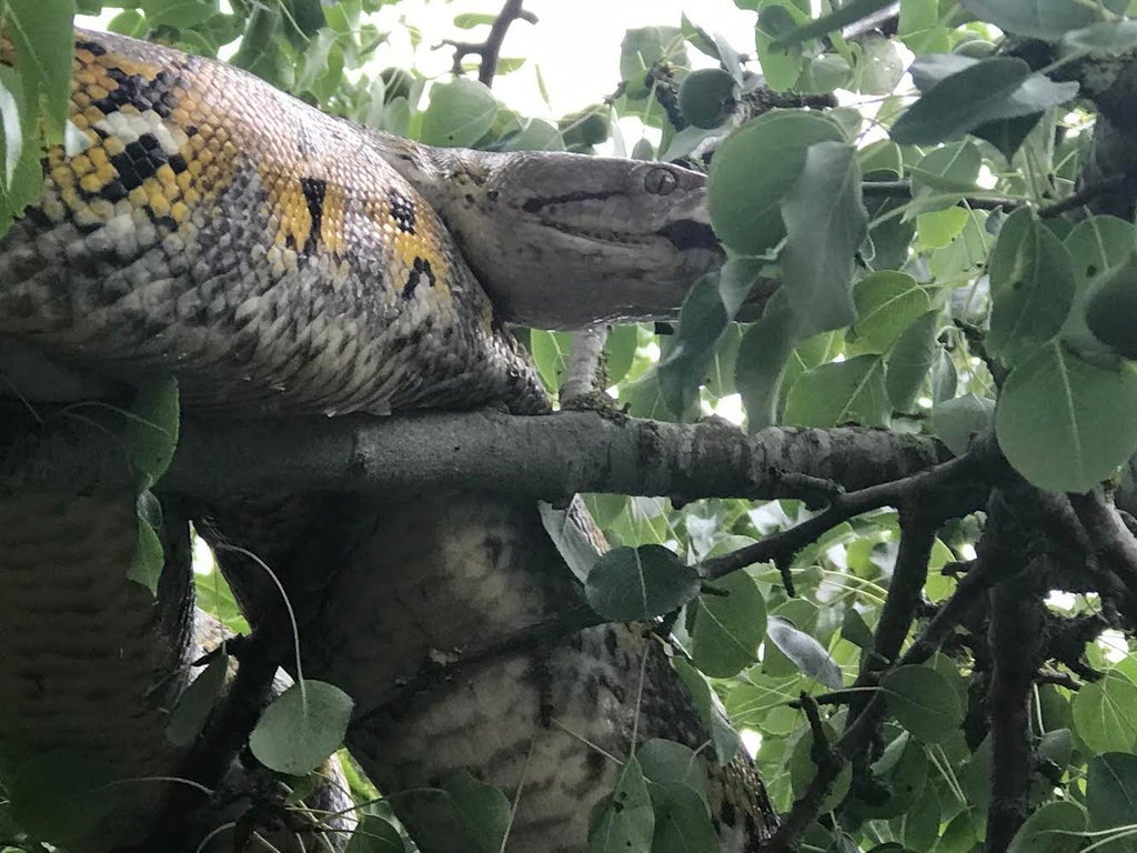 Rescuing 10ft python from tree 'reminiscent of The Jungle Book'